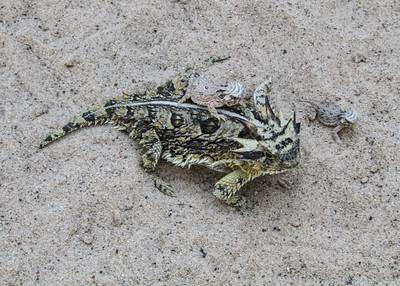 Zoo - Horned Lizards-0892