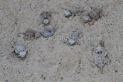 Zoo - Horned Lizards-0924