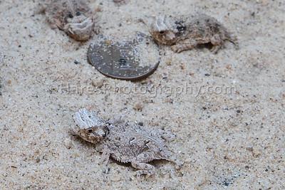 Zoo - Horned Lizards-0934-2