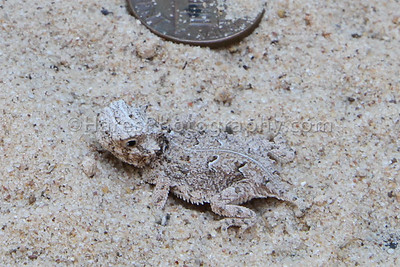 Zoo - Horned Lizards-0934-3