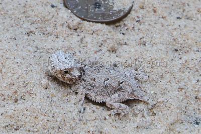 Zoo - Horned Lizards-0934-3