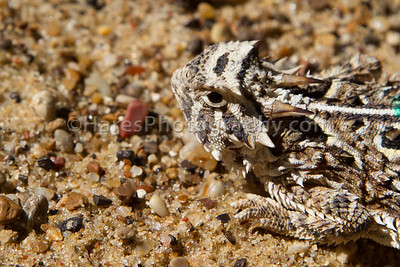 Zoo - Horned Lizards-0946