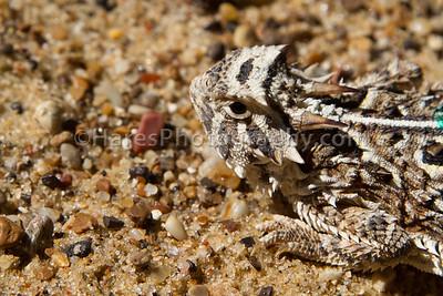 Zoo - Horned Lizards-0946