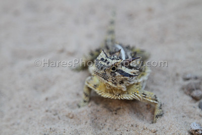 Zoo - Horned Lizards-0936