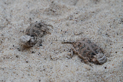 Zoo - Horned Lizards-0916