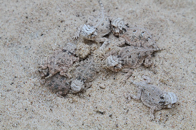 Zoo - Horned Lizards-0873