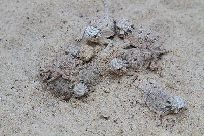 Zoo - Horned Lizards-0873