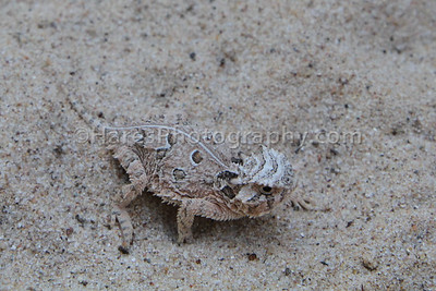 Zoo - Horned Lizards-0922
