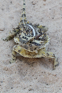 Zoo - Horned Lizards-0934