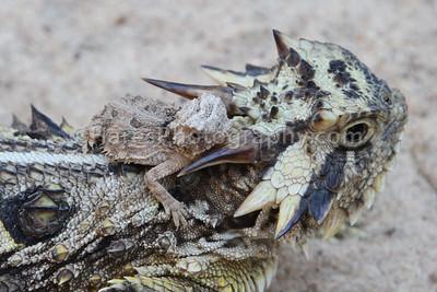 Zoo - Horned Lizards-0911