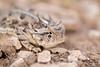 Horny Toad Smugmug-4