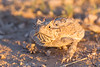 Horny Toad Smugmug