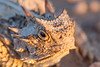Horny Toad Smugmug-2