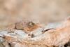 Horny Toad Smugmug-3