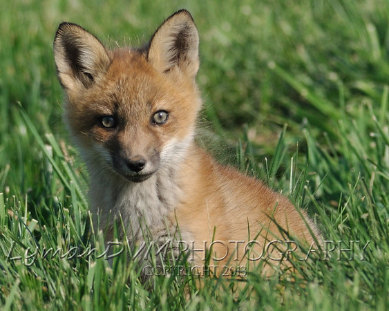 The Kentucky Fox