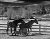 Horses, Reno, Nevada
