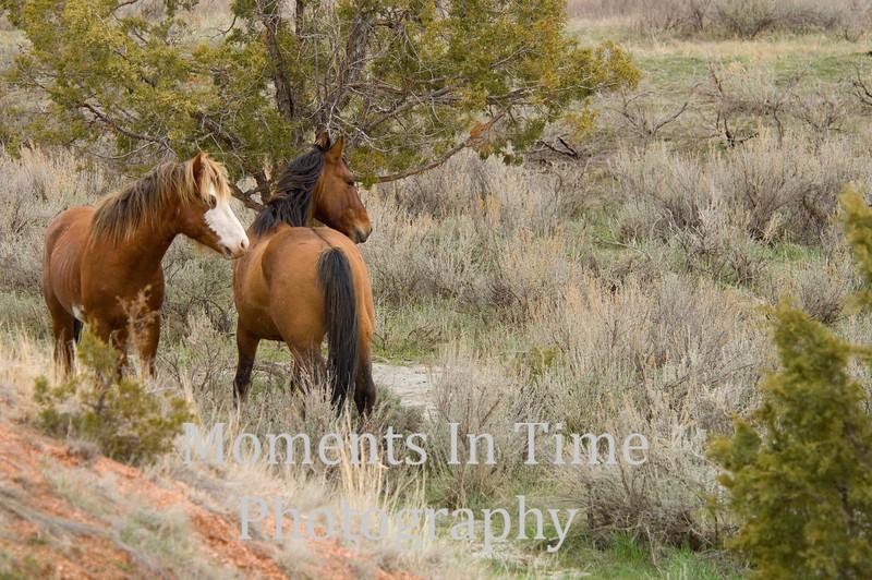 Stallion pair