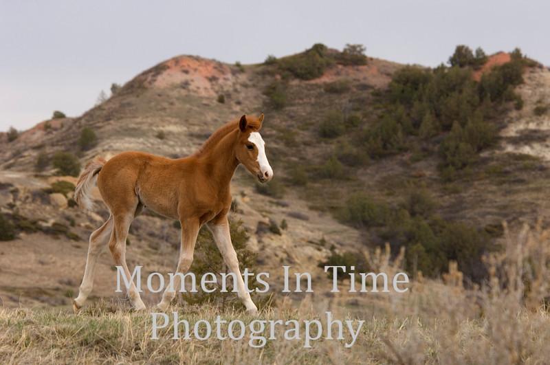 Brown foal in badlands