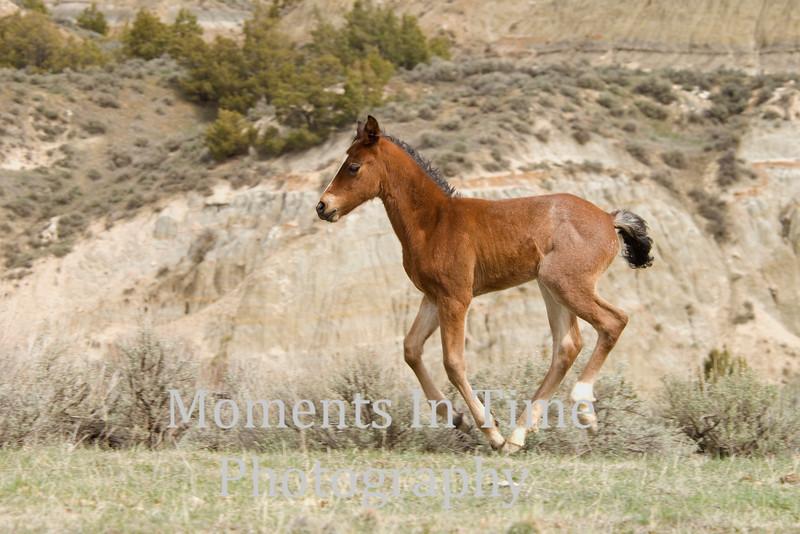 Brown foal galloping