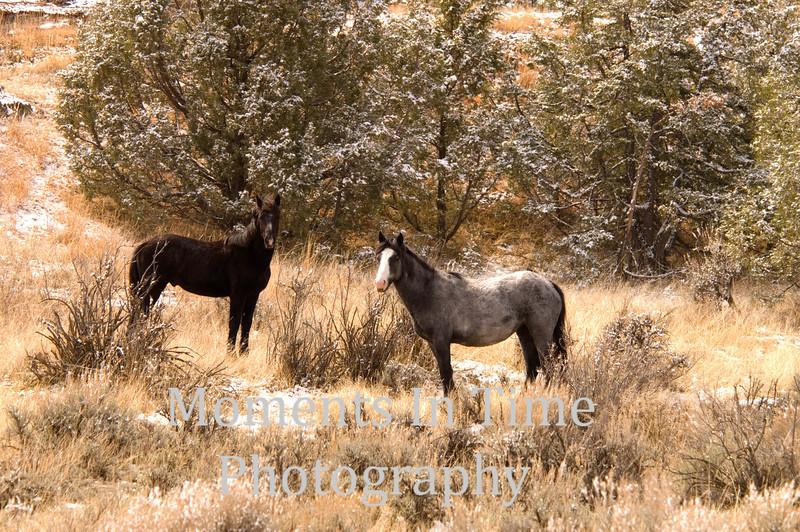 Wild horse pair in winter