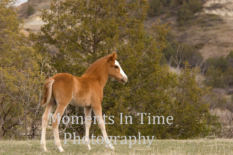 Brown foal with pine