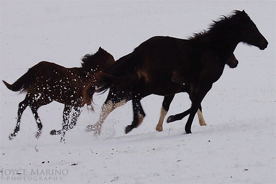 Horses in the snow (4x6) DSC_0082