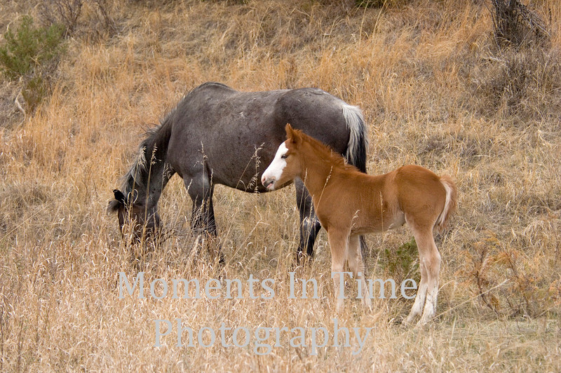 Dark gray mare white faced foal