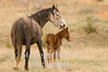 Wild mare with foal