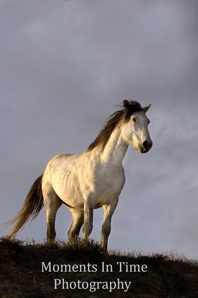 horse, wild, mustang, equus ferus, equus caballus, wild,<br />  animal, mammal, wildlife