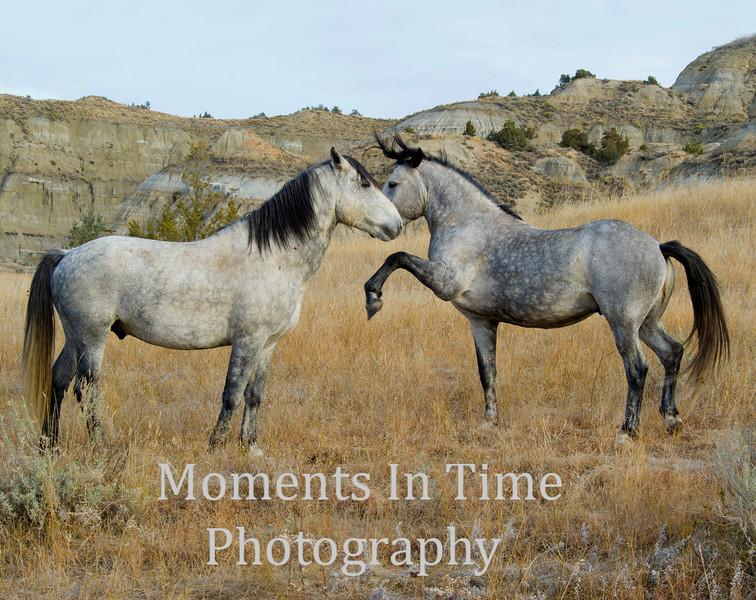 wild horse (equus ferus, equus caballus)