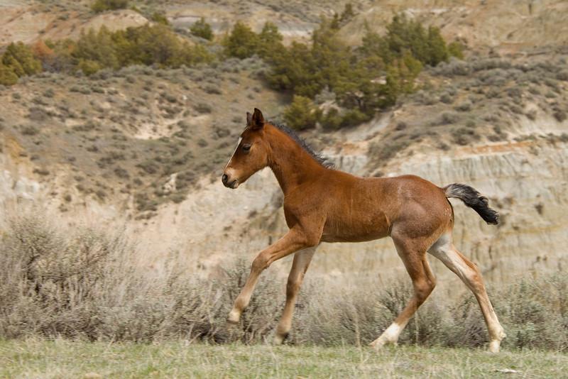 Horse wild ( equus ferus)
