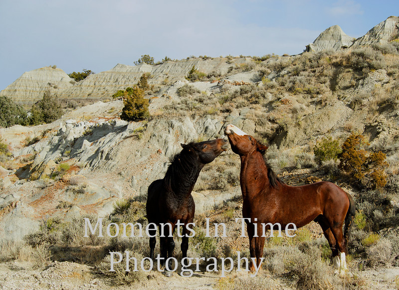 two stallions facing off