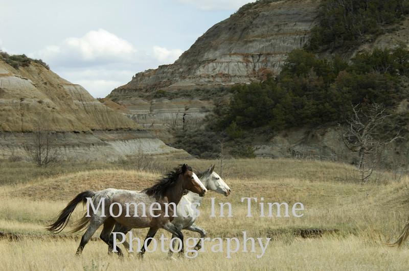Wild horses in tandum