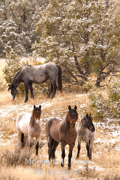 Wild horses in winter v