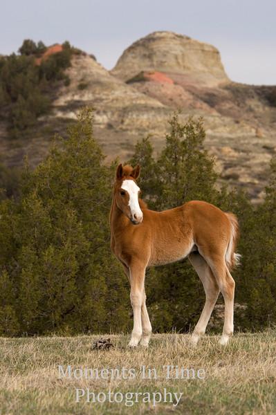 Brown foal posing v