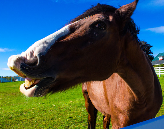 Horse in field giving opinion