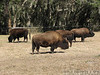 American Bison spotted at a ranch near Ocala.