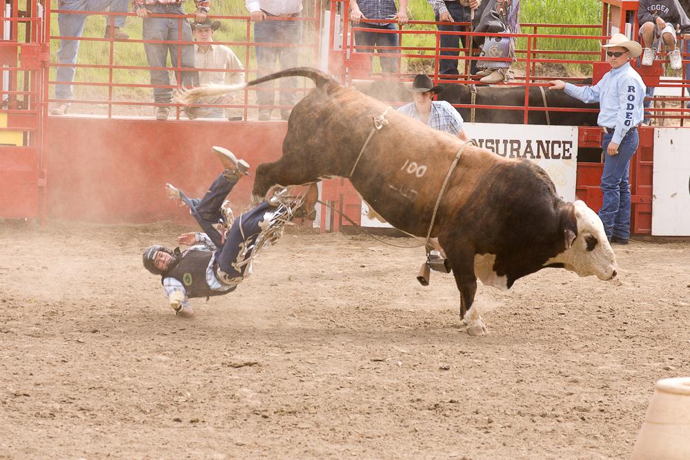 Bucking bull loses his cowboy