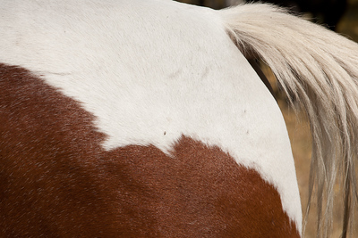 Horse tail, closeup