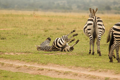 Young zebra rolls in dirt after the dominant male to spread his scent.  Kenya