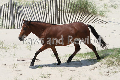 Horses of the Outer Banks