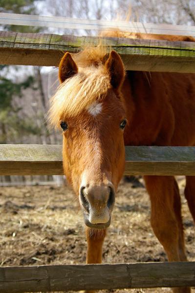 McGraw<br /> Cheyenne's baby<br /> Haflinger/Paint gelding