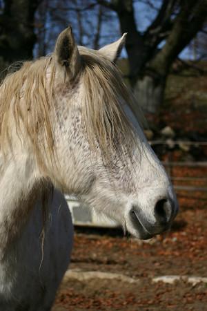 Raimeux-Pferde