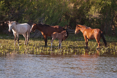 Wild horses letting the foal cool off in the water.