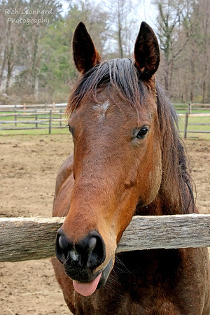 Horse making face at me in Muttontown Preserve, NY.
