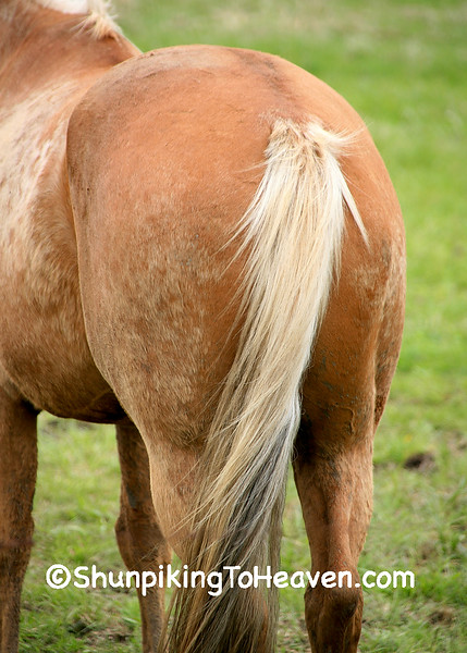 Palomino Horse Annoyed with the Camera, Sauk County, Wisconsin