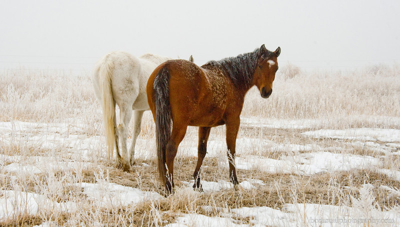 Arabians in the Snow