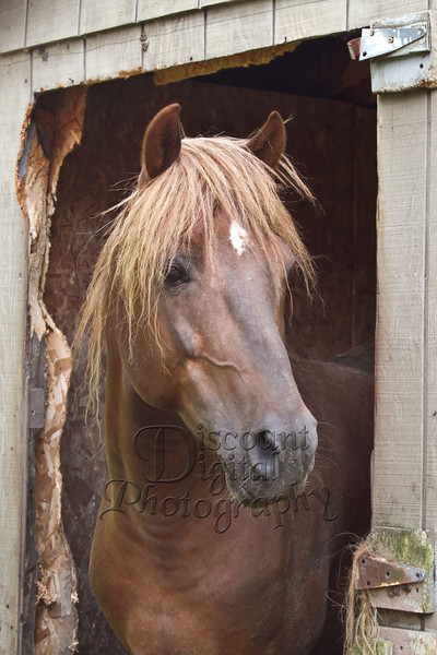 A Twin Brooks Morgan Stallion owned by Clara Winn, Cleveland, NY. I just wanted to take him home!!! Beautiful hunk of horse flesh, he was!!!