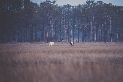 Wild Ponies | Chincoteague National Wildlife Refuge, Virginia | March 2014