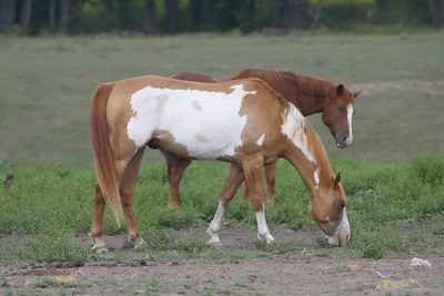 Two horses grazing on grass in a field